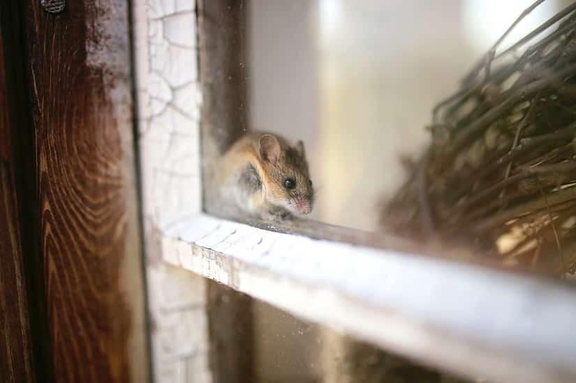 Durch den Mäusekot können verschiedene Krankheiten übertragen werden