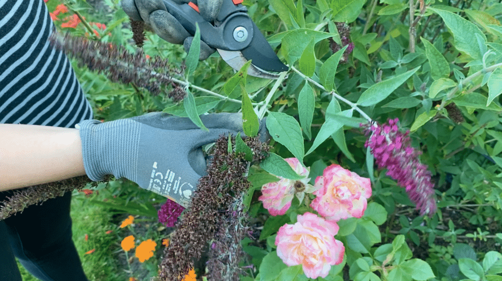 Schmetterlingsflieder im Sommer schneiden
