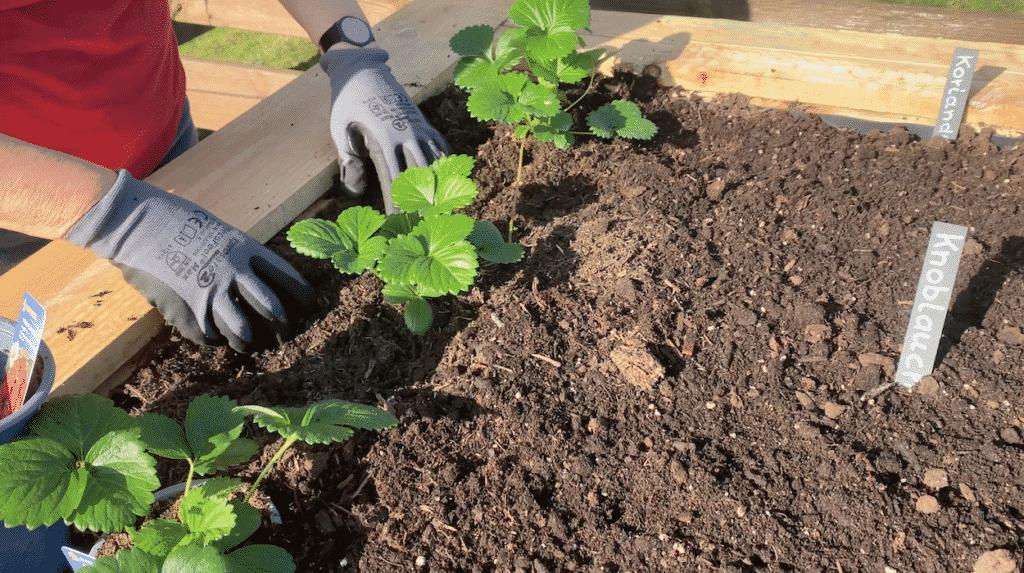 Erdbeeren ins Hochbeet pflanzen