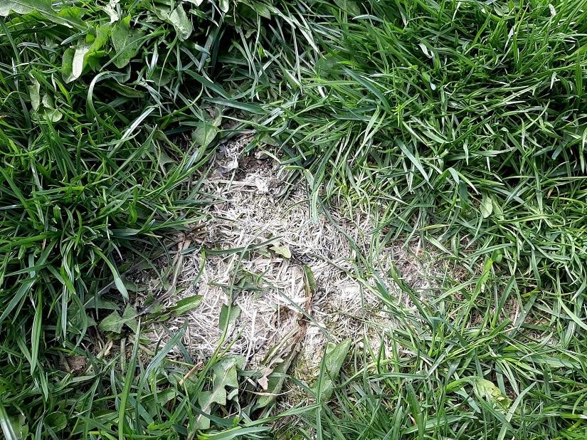 offensichtlich überdüngter Rasen