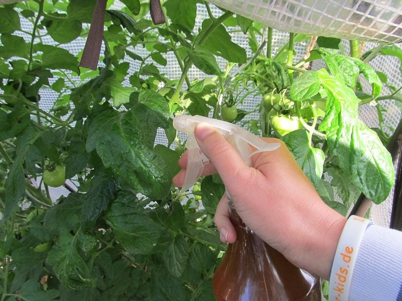 Blattdüngung bei Tomaten
