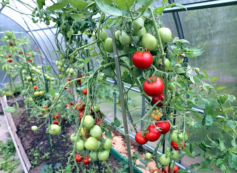 Gewächshaus für Tomaten