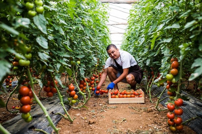 Tomaten im Tomatengewächshaus werden geerntet
